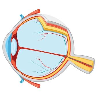 Иллюстрация анатомии глаз