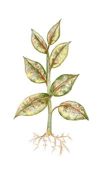 Ficus elastica 또는 고무 식물의 그림