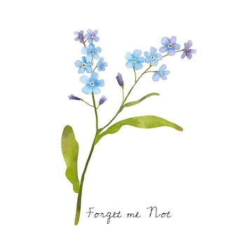 Illustration of Forget me not flower isolated on white background.