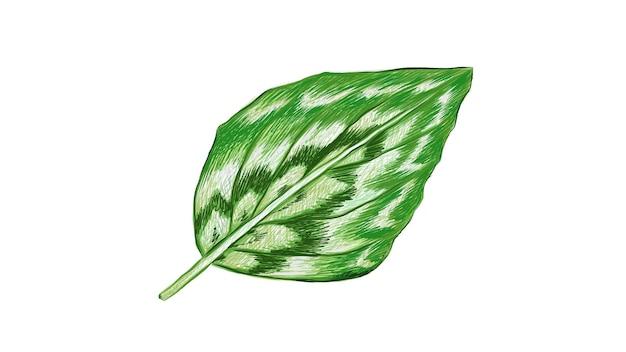 白地に新鮮なバンウコンエレガンスの葉のイラスト
