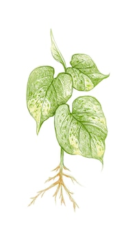 Golden pothos 또는 ivy arum plant의 그림