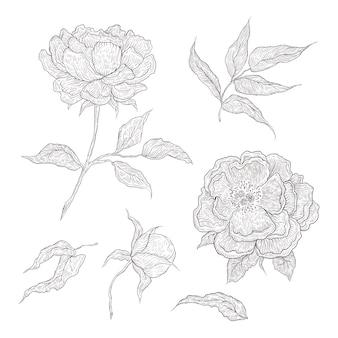 그래픽으로 손으로 그린 꽃의 그림입니다. 모조 조각. 열리고 닫힌 새싹, 잎 및 나뭇 가지가있는 피는 모란.