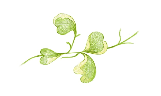 Hoya kerrii craib 등반 식물의 그림