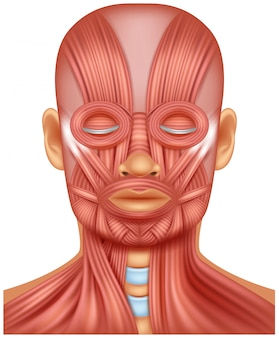 人間の頭の筋肉のイラスト