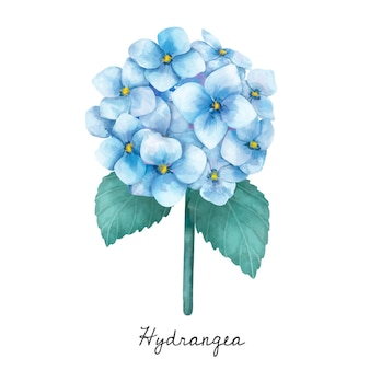 Illustration of Hydrangea flower isolated on white background.