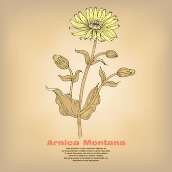 Иллюстрация лекарственных трав арника монтана.