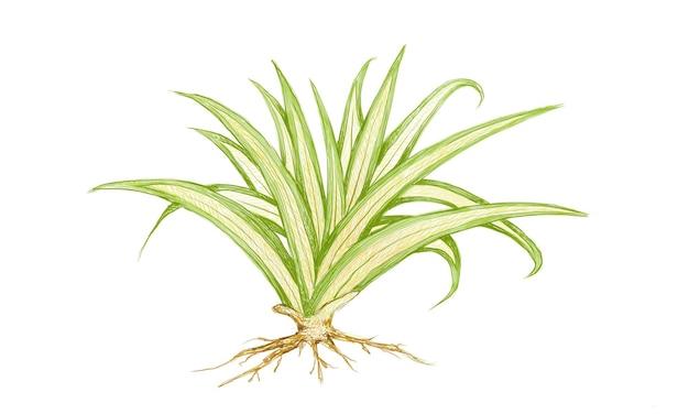 Pandanus veitchii 또는 agave 식물의 그림