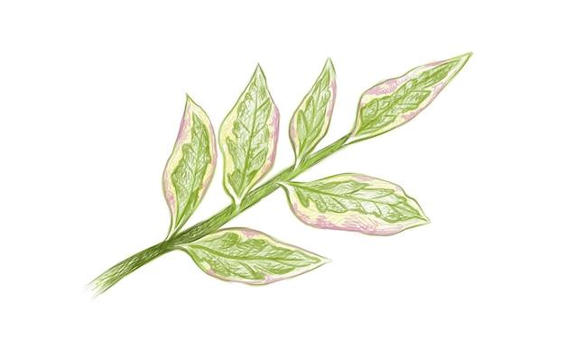 Pedilanthus tithymaloides 또는 redbird 선인장의 그림