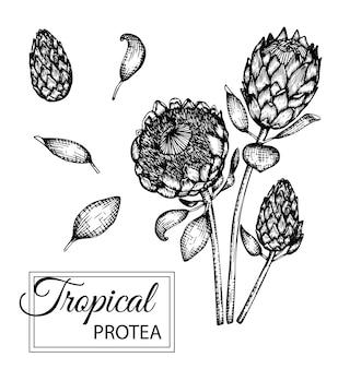 分離された熱帯の花のイラスト。手描きのプロテア。