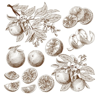 Illustration of orange fruit, blooming flowers, leaves and branches vintage monochrome drawing.