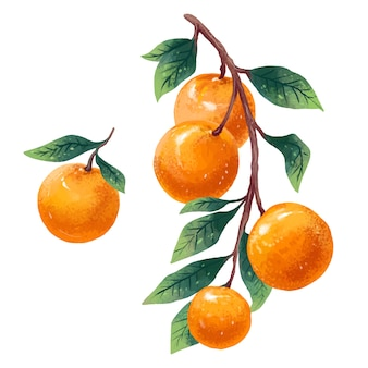 Illustration of tangerines set