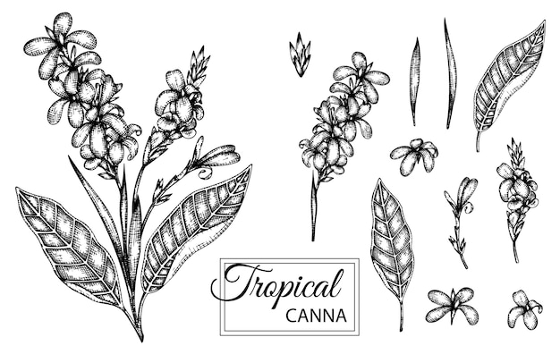 Illustration of tropical flower isolated . hand drawn canna.