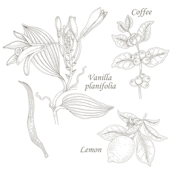 Illustration of vanilla, coffee, lemon.