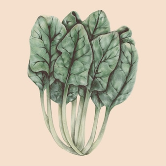 Illustration of vegetable watercolor style