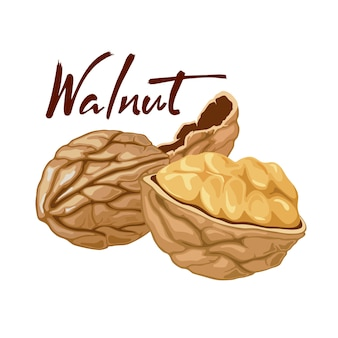 Illustration of a walnut peeled whole, cracked into halves. food symbol collection. whole nuts and walnut kernels. nutrition and agriculture concept.  icon on the white background.