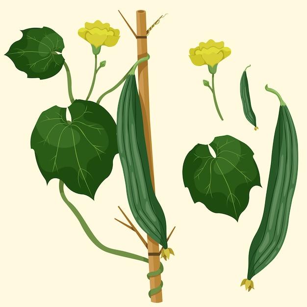 Illustrator of angled loofah vegetable