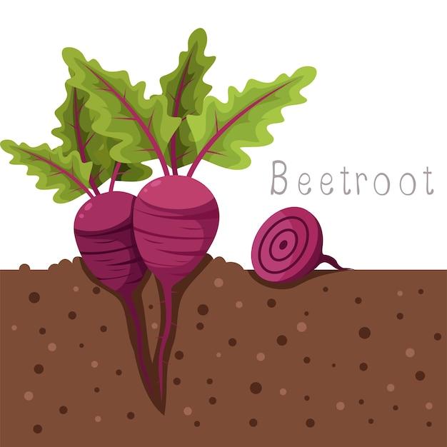 Illustrator of beetroot fruit organic