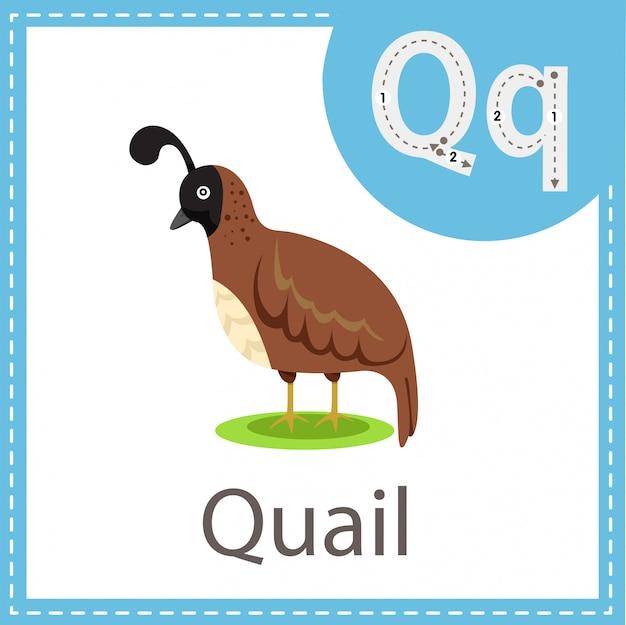 Illustrator of quail bird