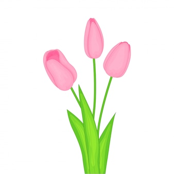 Image of three pink tulips on white background
