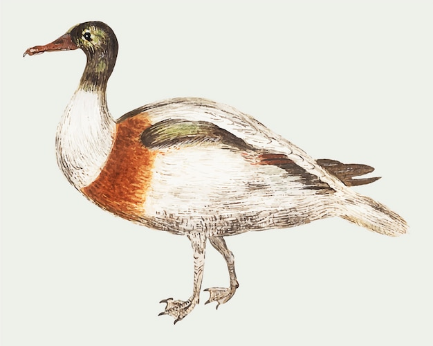 Indian runner duck in vintage style