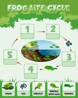 Infografica che mostra il ciclo di vita della rana