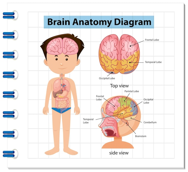 인간 두뇌 다이어그램의 정보 포스터