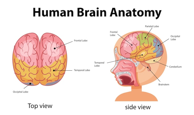 Информационный плакат схемы человеческого мозга