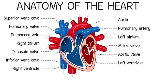 Информационный плакат схемы человеческого сердца