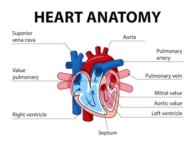 인간의 심장 다이어그램의 정보 포스터