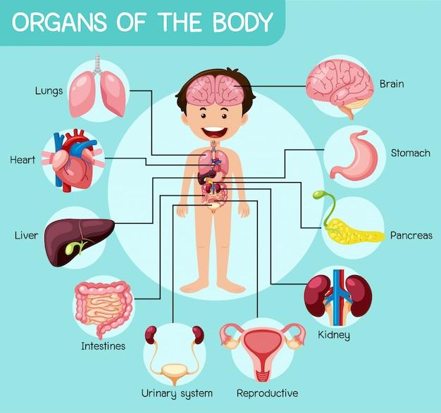 体の有益な器官