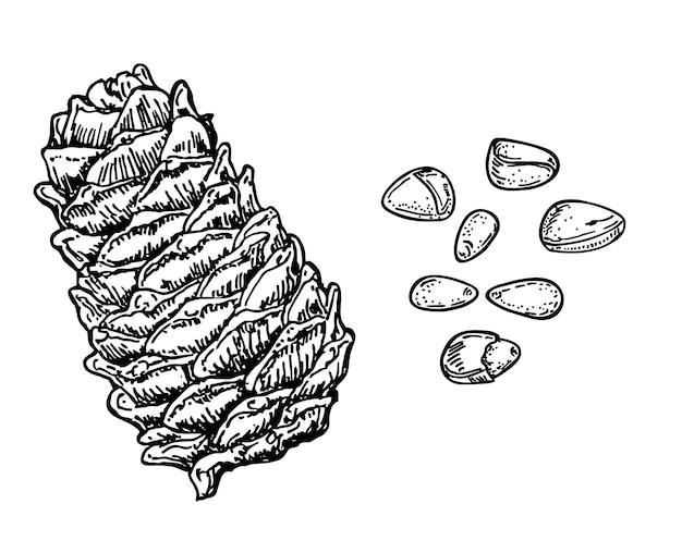 Чернила эскиз кедрового ореха кедровые орехи и кедровая шишка органическая здоровая пища