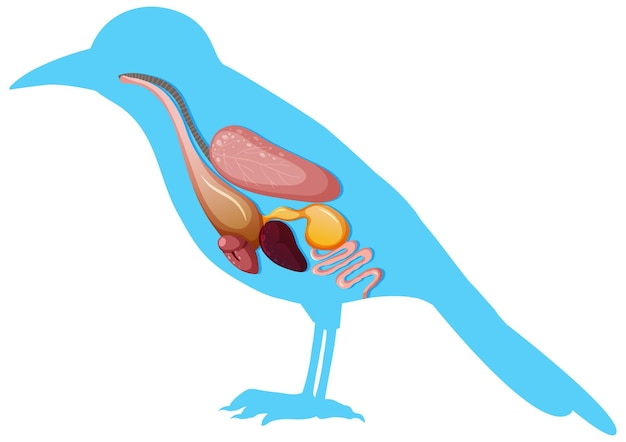 Anatomia interna dell'uccello con organi