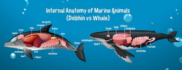 Internal anatomy of marine animals (dolphin vs whale)