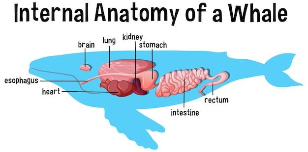 Anatomia interna di una balena con etichetta
