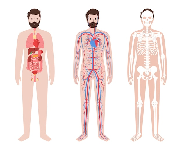Internal organs, arterial and venous circulatory system. skeleton, joints and bones in human body