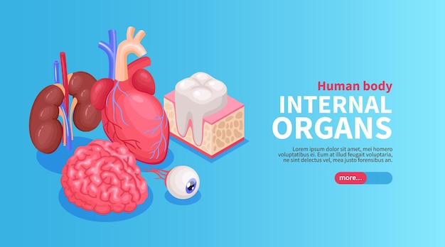 Internal organs banner with heart and eye and kidneys isometric  illustration