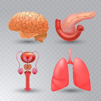 Internal organs realistic icon set in realistic style.