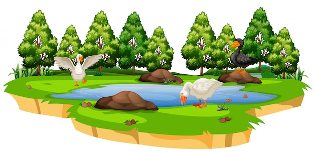 Isolated duck at pond