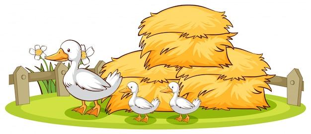 Изолированные утки и сено