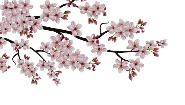 Isolated illustration on white background, sakura blooming branch with flowers.