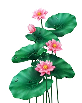 Isolated lotus leaves with flowers and bud on white pink blossom of china or indian plant egyptian