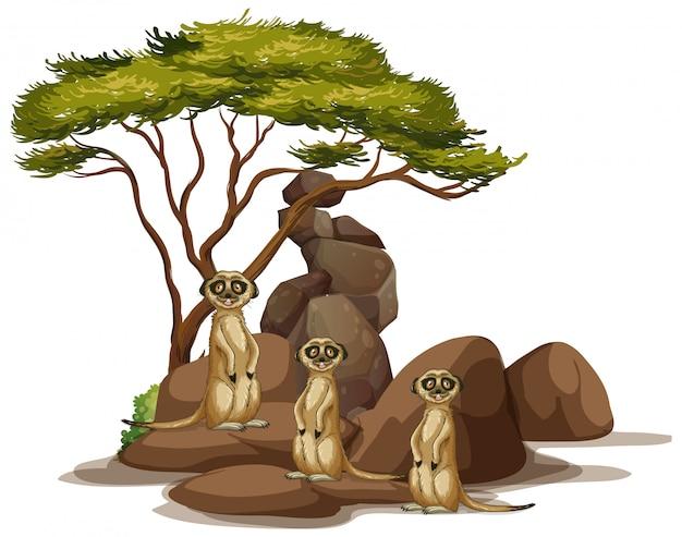 Изолированное изображение сурикатов на скале