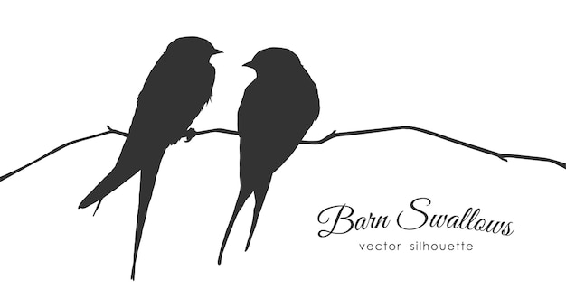 Isolated silhouette of two barn swallows sitting on a dry branch on white background.