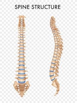 측면 및 전면보기의 격리 된 척추 구조