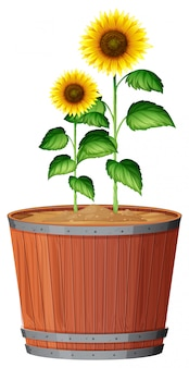 Isolated sunflower in pot