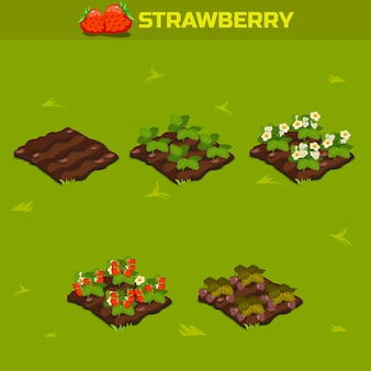 Isometric stage of growth berries. red strawberry