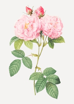 Italian damask rose