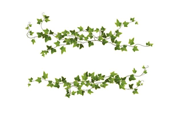 아이비 식물 가지 흰색 절연