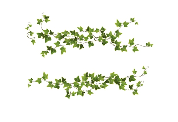 Ivy plant branches isolated on white