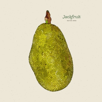 The jackfruit, also known as jack tree, hand draw sketch .